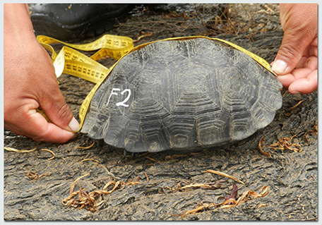 Joe-blog_tortoise-measuring