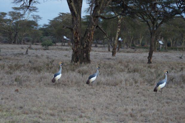 cranes-lewa