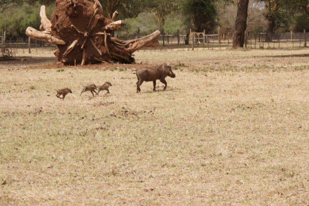 warthogs-lewa