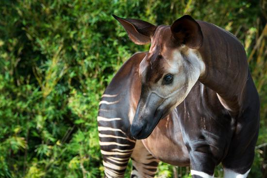 Celebrate World Okapi Day With Us What Is An Okapi The Houston Zoo